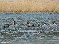 Greylag Goose (Anser anser) & Eurasian Coot (Fulica atra) (33943613402).jpg