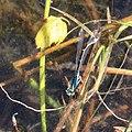 Große Pechlibelle Ischnura elegans 5776.jpg