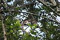 Grooming Ugandan red colobus.JPG