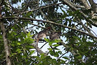 Ugandan red colobus - Ugandan red colobus grooming in Kibale National Park, Uganda