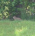 Groundhog (Whistle Pig) at Hamilton, Pa., near Punxsutawney home of Phil.JPG