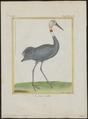 Grus antigone - 1700-1880 - Print - Iconographia Zoologica - Special Collections University of Amsterdam - UBA01 IZ17300113.tif