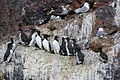 Guillemots on Bear Island Svalbard Arctic (19659706384).jpg