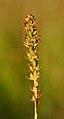 Gymnadenia odoratissima infructescence - Niitvälja bog.jpg
