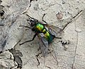 Gymnocheta viridis. Tachinidae (33836100342).jpg
