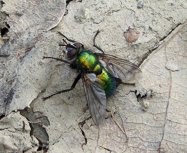 File:Gymnocheta viridis. Tachinidae (33836100342).jpg