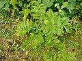 Gymnosporangium tremelloides 2 beentree.jpg