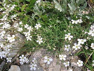 Gypsophila repens - Image: Gypsophila repens