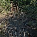 H20130909-9788—Festuca californica 'Phil's Silver'—Katherine Greenberg (9780493861).jpg
