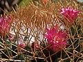H20140618-2955—Mammillaria sp (14452585526).jpg