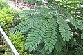 HK 上水 Sheung Shui 彩園路 Choi Yuen Road 鳳凰木 Delonix regia green pinnate compound leaves Sept 2017 IX1 01.jpg