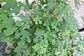 HK 上環 Sheung Wan 差館上街 Upper Station Street green tree 構樹 Broussonetia papyrifera June 2018 IX2 04.jpg