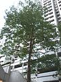 HK 天后 Tin Hau 金龍台 6 Dragon Terrace 金龍大廈 Dragon Court Block tree May-2014.jpg