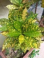 HK Mid-levels High Street clubhouse green leaves plant February 2019 SSG 07.jpg