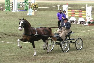 Hackney horse - A Hackney Horse in a driving competition.