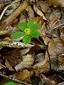 Hacquetia epipactis Carinthia.jpg