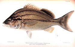 definition of haemulidae