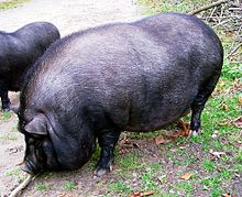 Kleine Latina, große Schweine