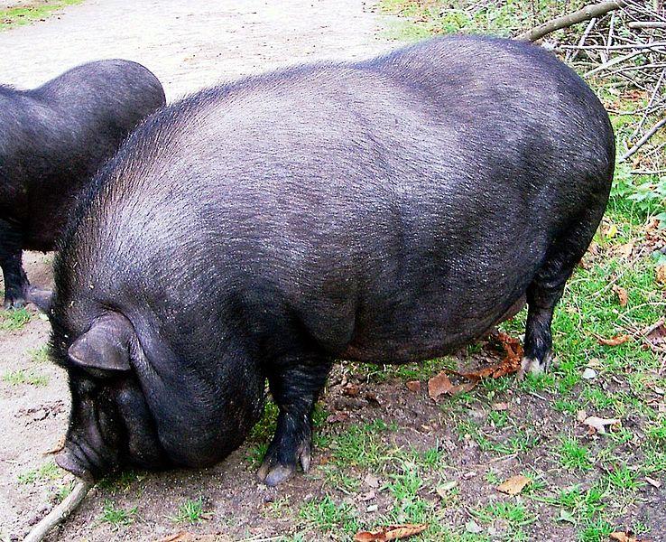 Datei:Haengebauchschwein1.jpg
