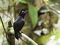 Hafferia fortis - Sooty Antbird - male (cropped).jpg