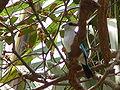 Halcyon senegalensis 0002.jpg