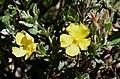 Halimium atriplicifolium Cistaceae (31819512613).jpg