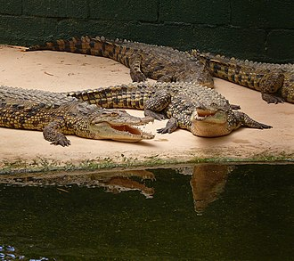 Hamat Gader - Young Nile Crocodiles at Hamat Gader's Crocodilias Farm