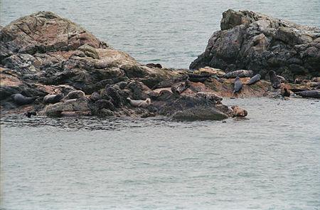 Harbor seal Behm Canal(js)02.jpg