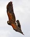 Harris Hawk 8c (6955721139).jpg