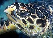 Becco appuntito della Hawksbill Turtle