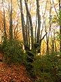Hayas en otoño, subida del Peiró ( Huesca ) - panoramio.jpg