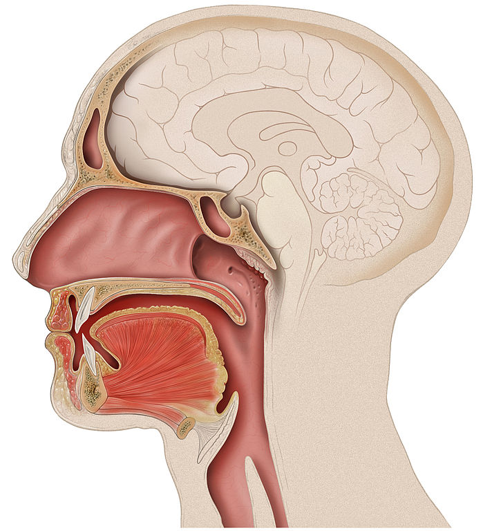 file:head lateral mouth anatomy - wikimedia commons, Human body