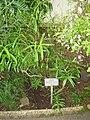 Hebe salicifolia - Berlin Botanical Garden - IMG 8749.JPG