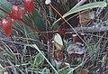 Heliamphora nutans (Habitus) edit.jpg