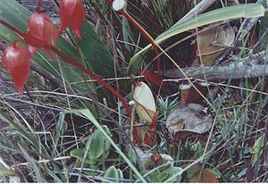 Heliamphora - Flowering specimen of H. nutans growing on Mount Roraima in Venezuela