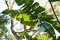 Heliconia rostrata Cervanda 3zz.jpg