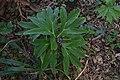 Helleborus niger in Jardin botanique de la Charme.jpg