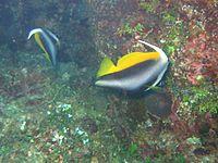 Heniochus monoceros 2006 Reef0523