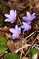 Hepatica nobilis A4.jpg
