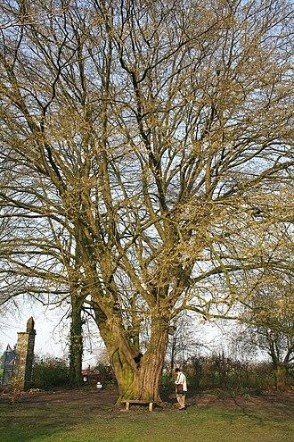 Carpinus betulus - Image: Herchies JPG09