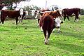 Herd of cattle.jpg