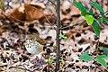 Hermit thrush (32655299140).jpg