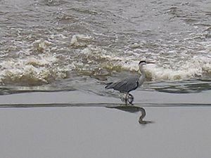 River Irwell - Grey heron wading in the Irwell near Bury.
