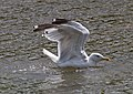 Herring Gull 2 (6045302025).jpg