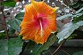 Hibiscus 0181.jpg