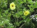 Hibiscus hamabo5.jpg