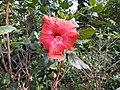 Hibiscus rosa sinensis hybrid-19-hanuman temple-muluvi-yercaud-salem-India.jpg