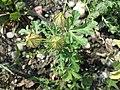 Hibiscus trionum sl80.jpg