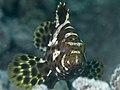 Highfin grouper (Epinephelus maculatus) (48279161521).jpg