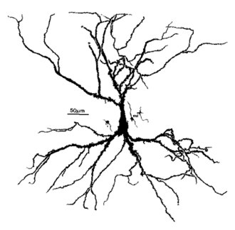Pyramidal cell - Image: Hippocampal pyramidal cell